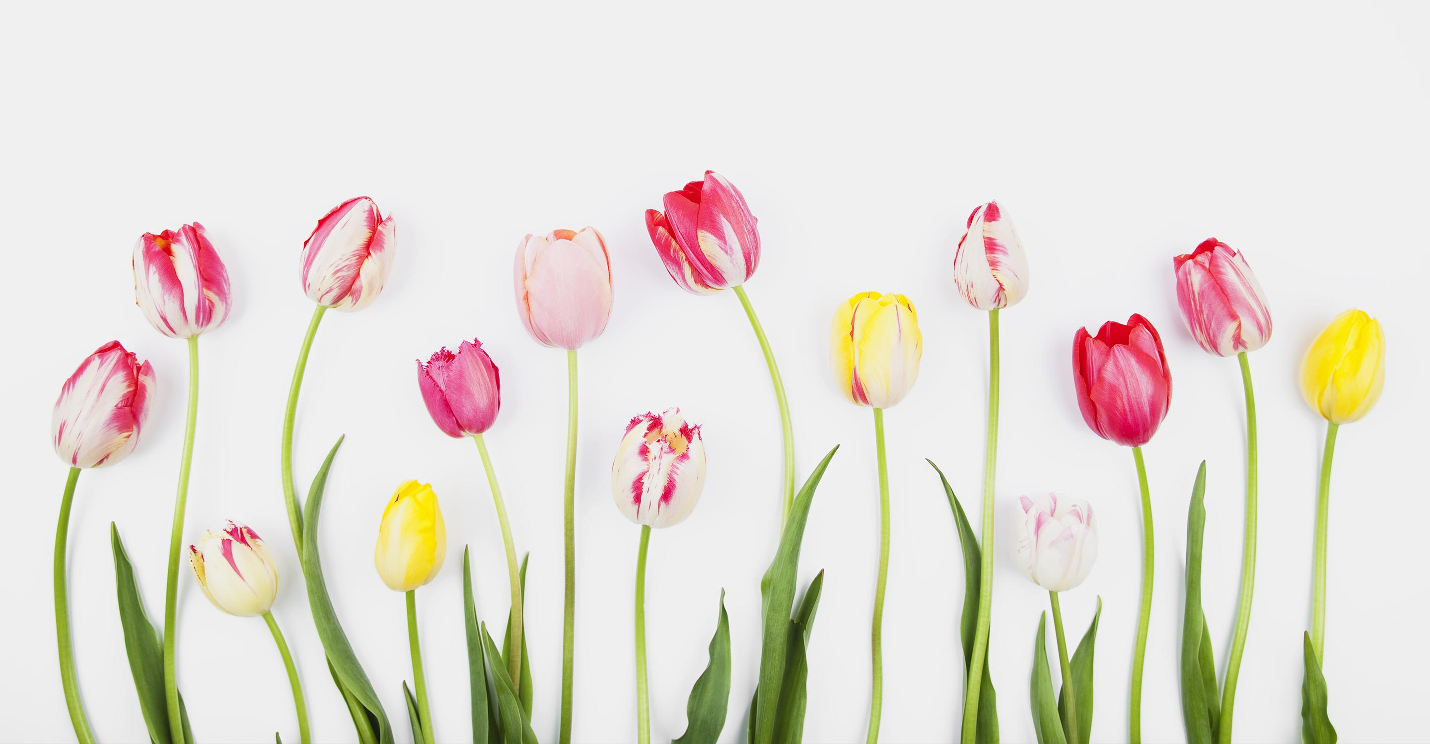 Pink and yellow tulip flowers